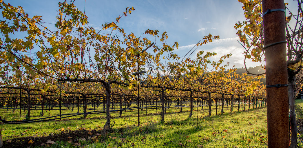 Looking down the rows of vines of the To Kalon Vineyard. The leaves have turned golden as cooler weather approaches.