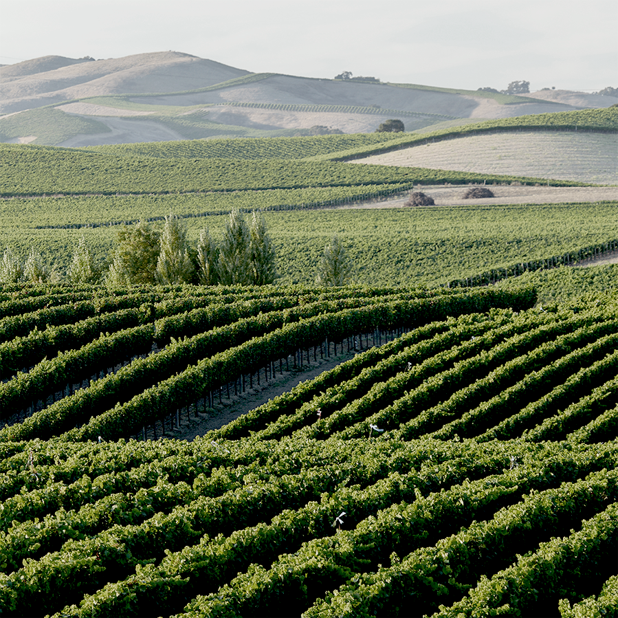 The Los Carneros vineyards run along the rolling hills towards San Pablo Bay.