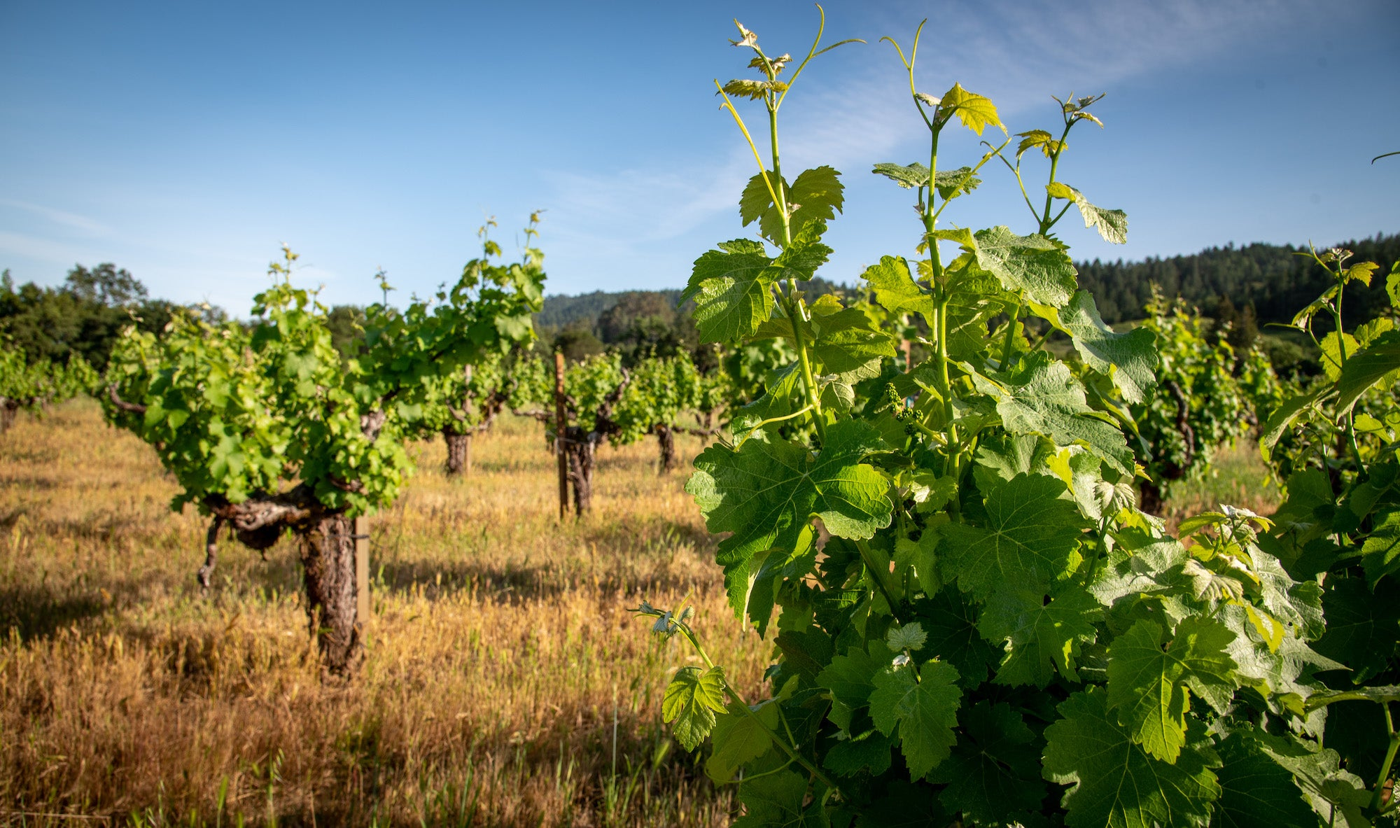 The Wappo Hill Vineyard, in late summer, stretches out across the rolling hills of the Stags Leap District.