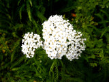 Yarrow Face Mist