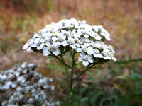Yarrow Beauty Serum