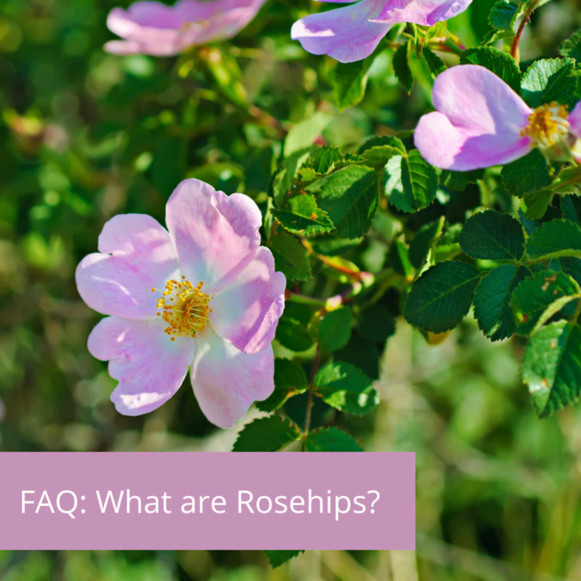 FAQ: What are rosehips?