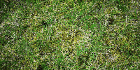 What is lawn moss