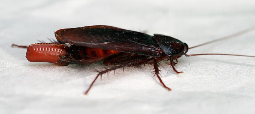 A cockroach laying eggs