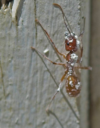 Diatomaceous earth on an ant.