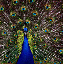 Upload image to gallery, The peacock