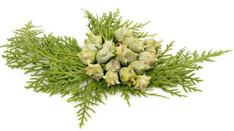 Ambrosial Cypress Essential Oil Cupressus sempervirens 100% Natural