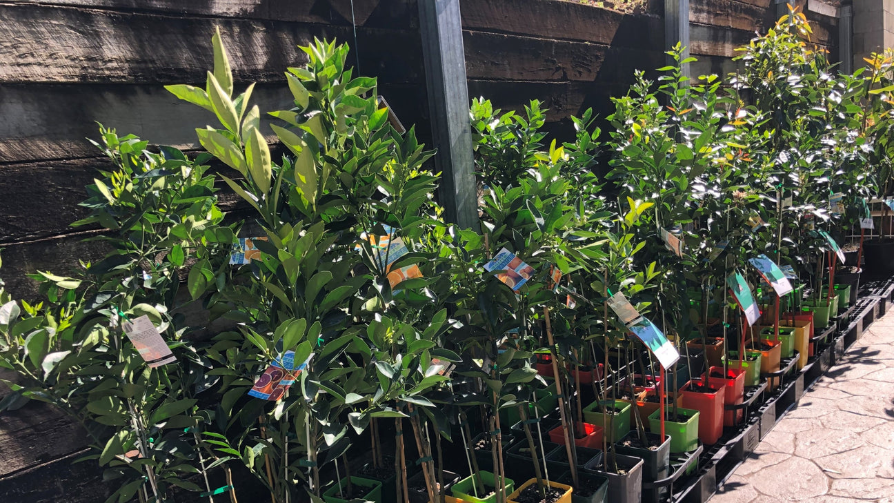 Fruit Tree Cottage - Selection of Fruit Trees in Sunlight