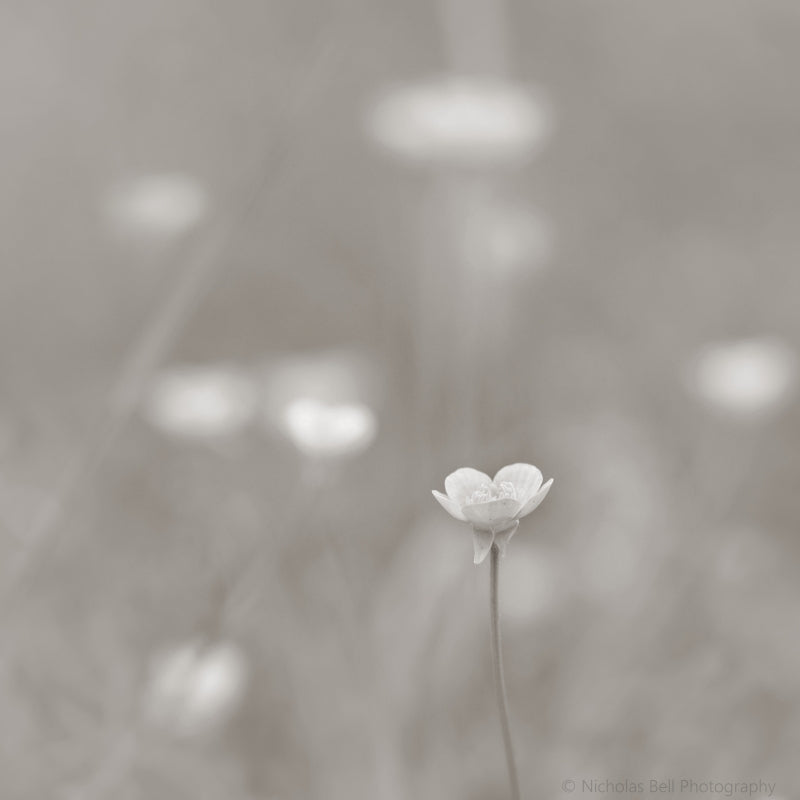 spring wild flowers photography, minimalist nature print