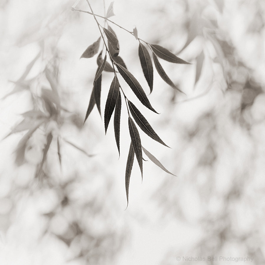sepia nature photography, willow leaves prints