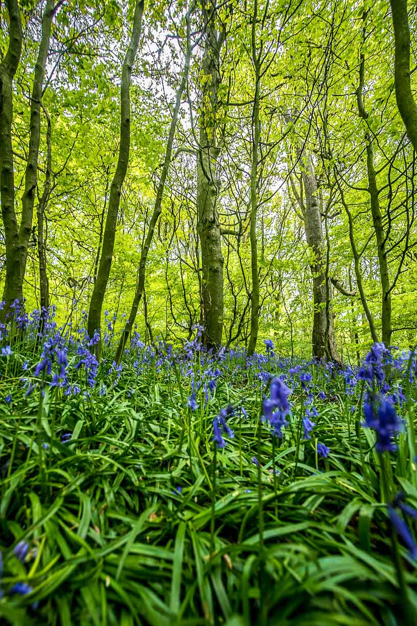 Bluebell Woods in Horsforth print