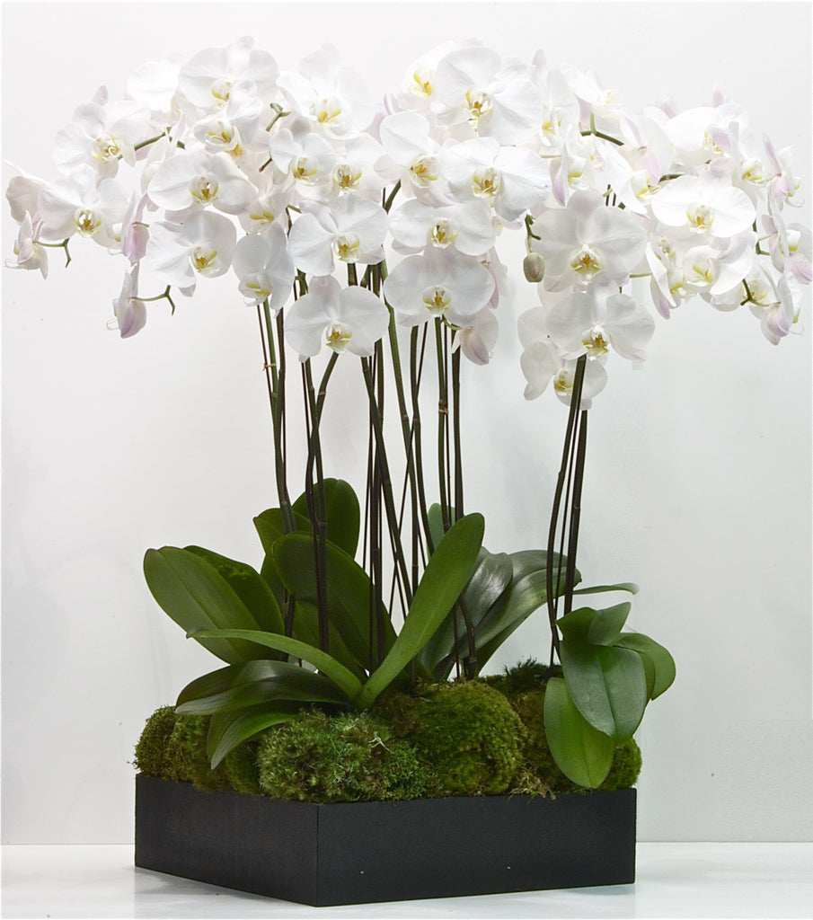 Luxury Orchids Gift UAE