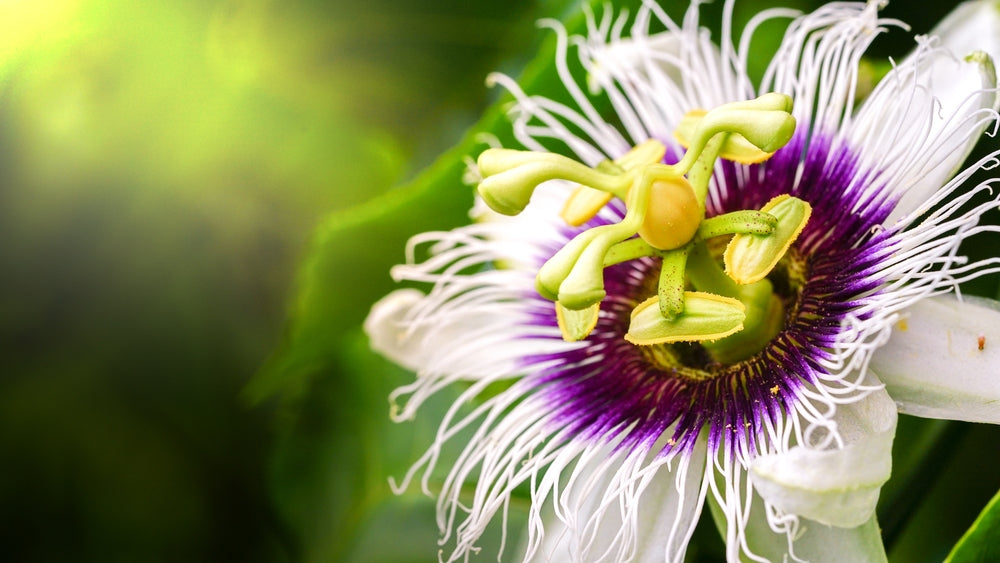 Passionflower Herb – What You Should Know About It