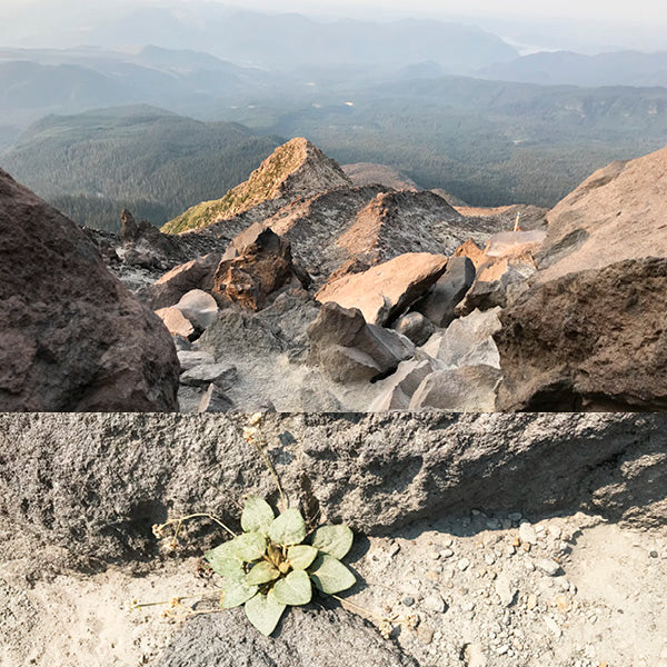 Mt St Helens dusty rocky terrain with single thriving plant inspiring CG Jewelry collection called Resilient