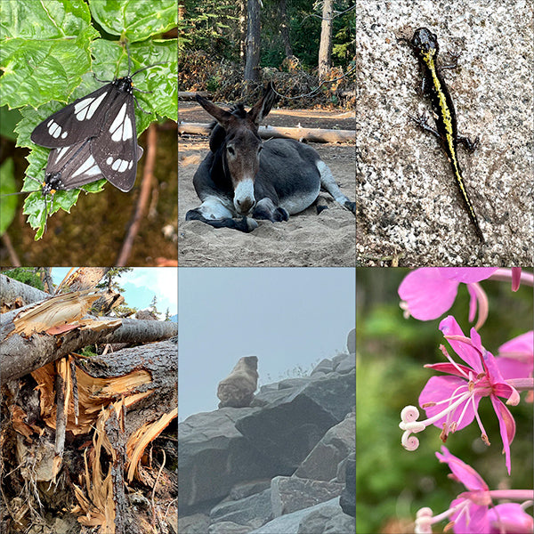 mating butterflies, pet donkey, gecko, avalanche destruction, marmot in fog, pink fireweed wildflower, all things seen on backpacking onthe PCT