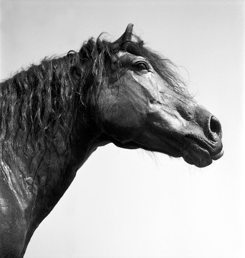 Stallion Remus. 1944.