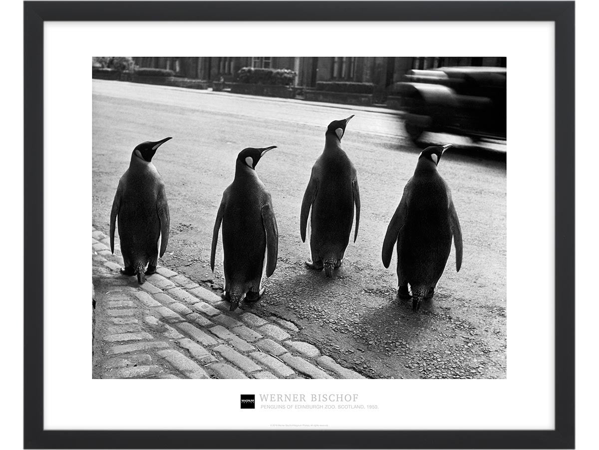 Magnum Collection Poster: Penguins of Edinburgh Zoo. Scotland. 1950.
