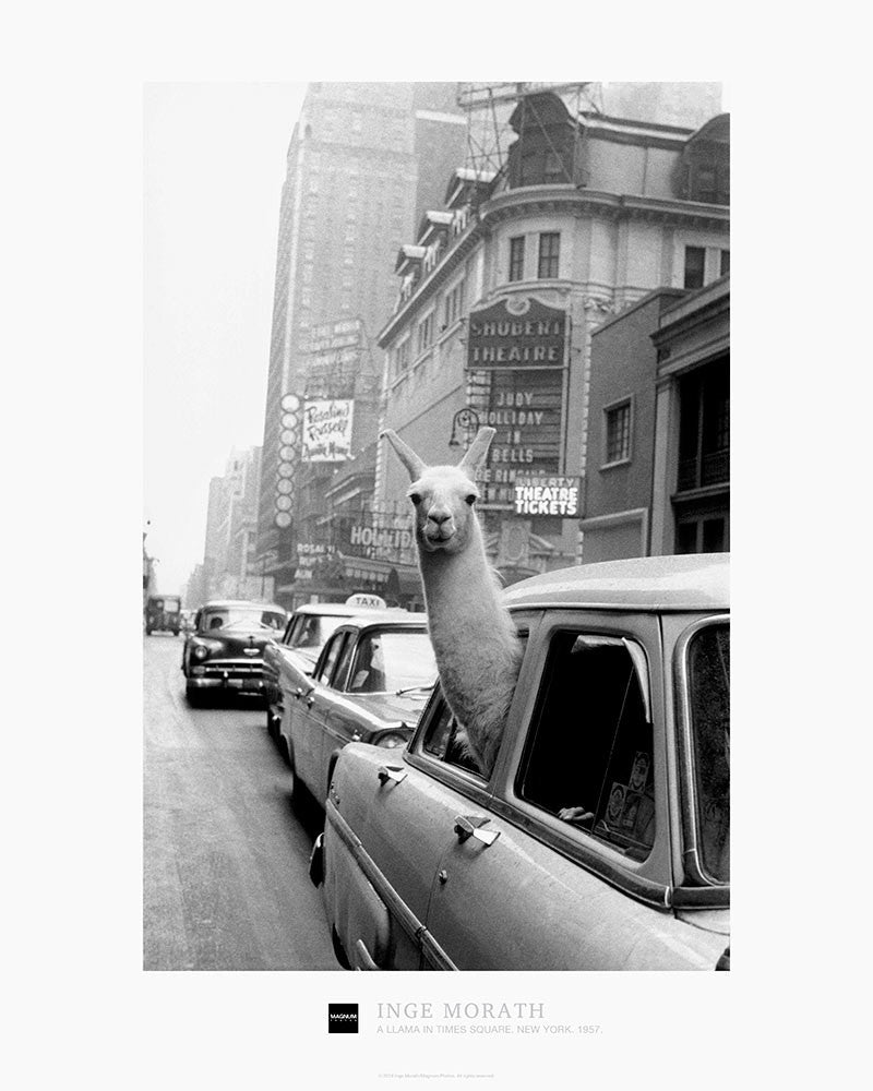 Magnum Collection Poster: A Llama in Times Square. New York. 1957.