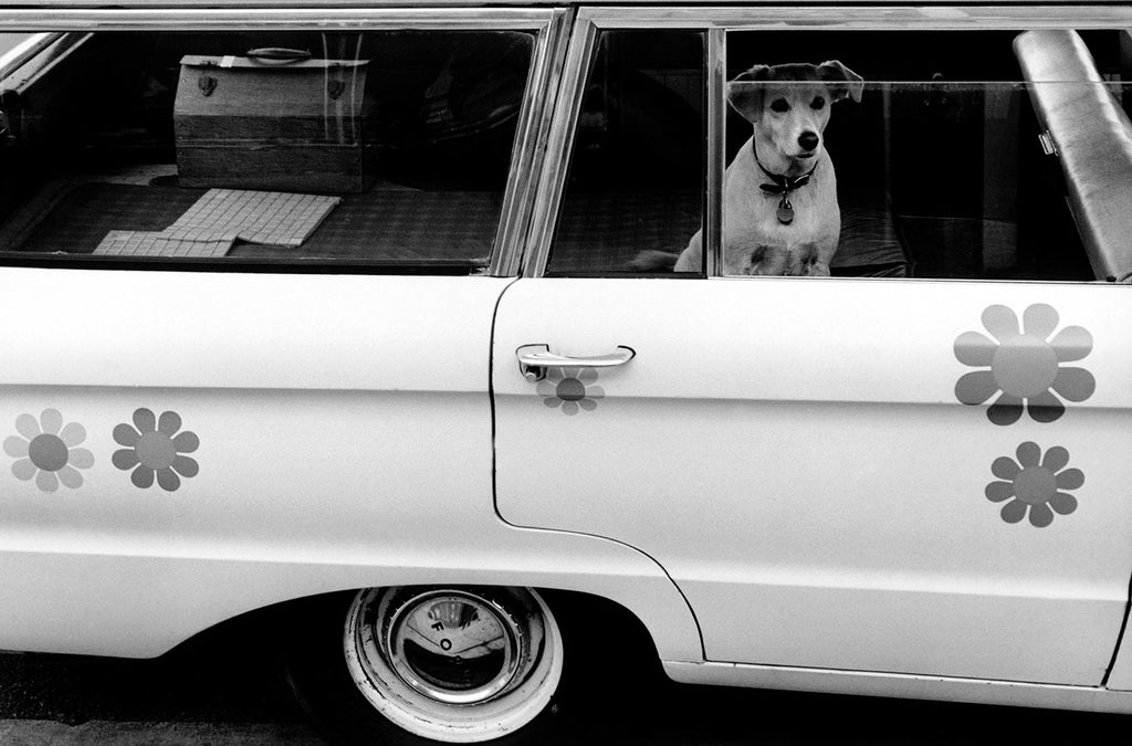 Dog looking out the window of a car. California. 1968.