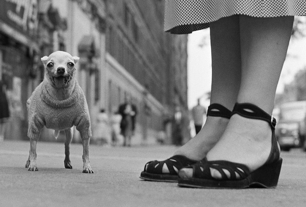 1. New York City. 1946. (Chihuahua)