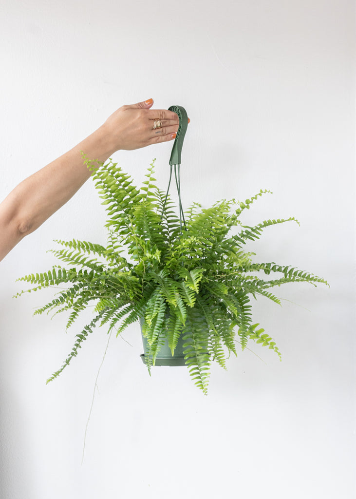 Boston Fern 6''