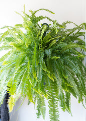 Boston Fern 10''