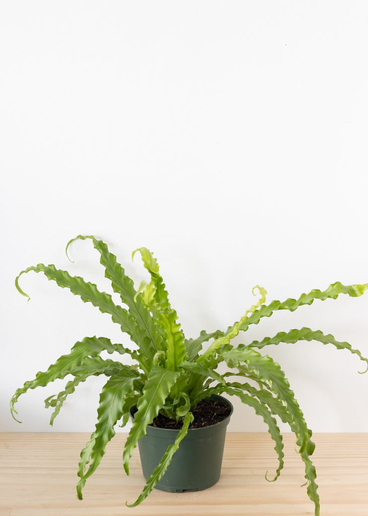 Birds Nest Fern 6''