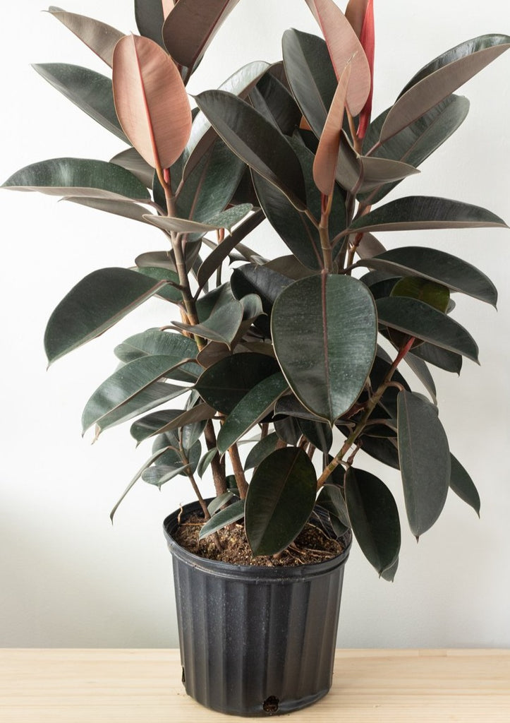 Rubber Tree 10''