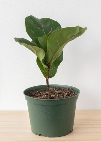Fiddle Leaf Ficus 6''
