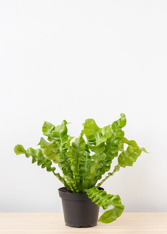 Crispy Wave Fern 4''