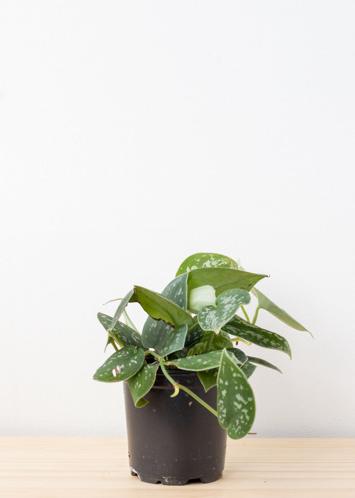 Spotted Philodendron 4''