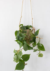 Philodendron 4''