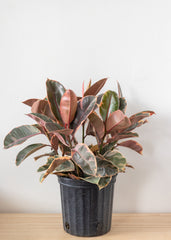 Variegated Rubber Tree 8''