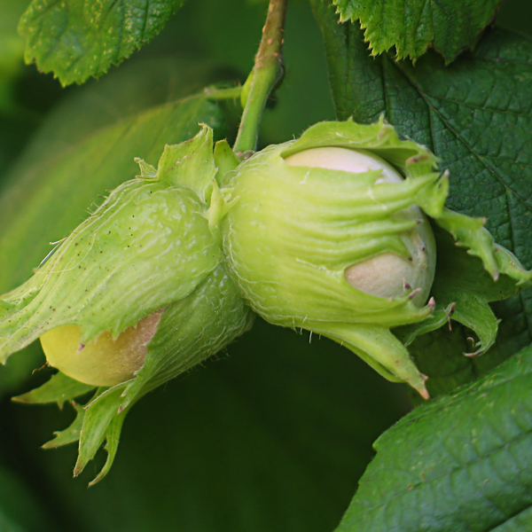 Hazelnuts - British Columbia