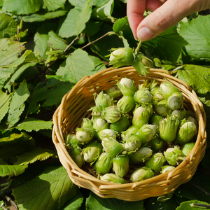 Hazelnuts • Sprouted • Canada