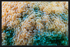 Bubble Corals