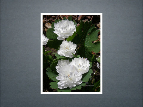 Bloodroot 6 - Set of 6 cards (New)