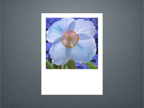 Blue Poppy - Set of 6 cards