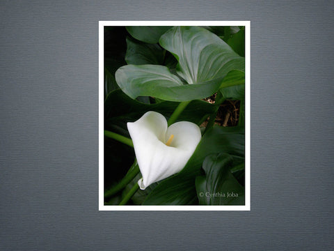 Cala Lily - Set of 6 cards