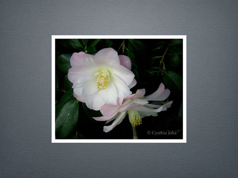 Camelia - Set of 6 cards
