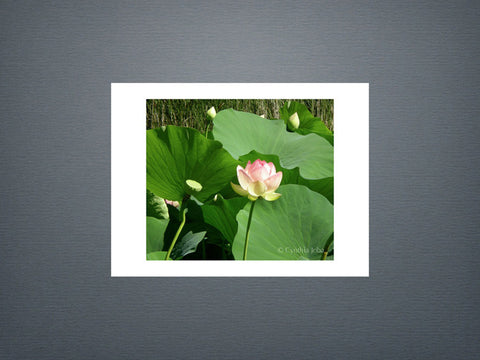 Field of Lotus - Set of 6 cards