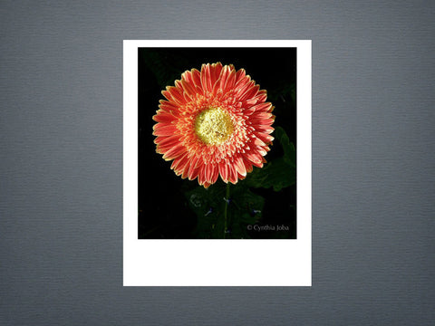 Gerber Daisy - Set of 6 cards