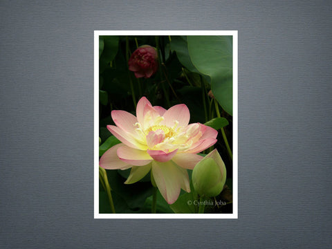 Lotus - Set of 6 cards