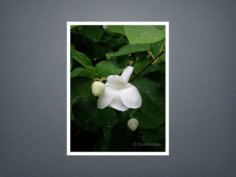 Magnolia - Set of 6 cards