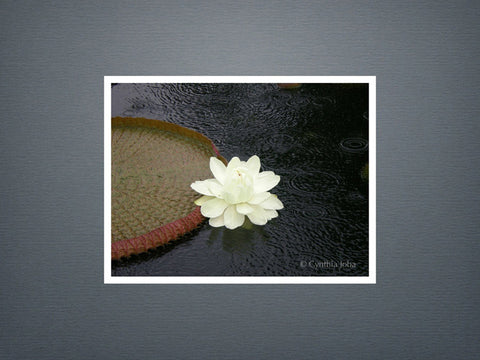 Victoria Water Lily - Set of 6 cards