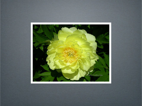 Peony - Set of 6 cards (New)