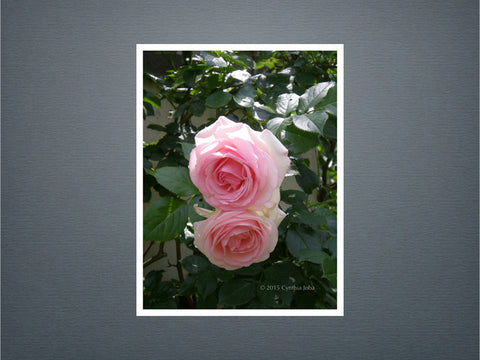 Roses - Set of 6 cards (New)