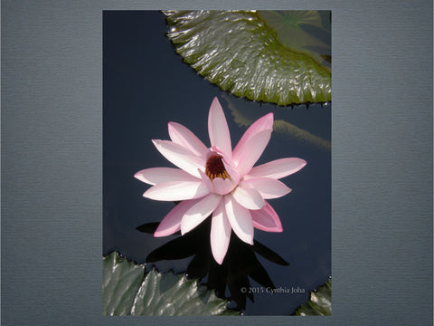 Water Lily 23 (New)
