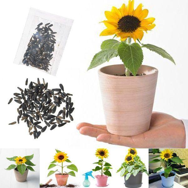 Dwarf Sunflower Seeds Rare