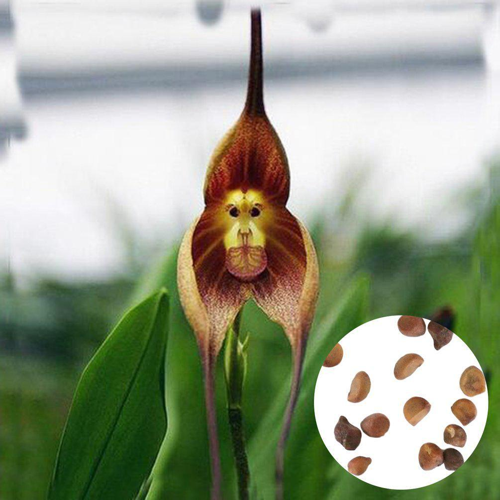 Monkey Face Orchids Seeds